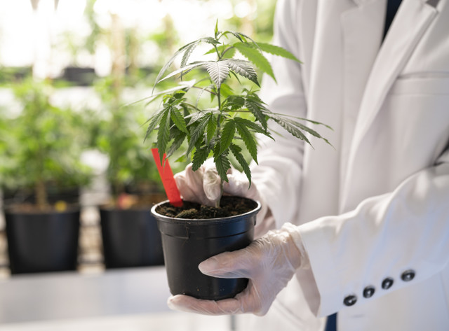 Therapeutic use of cannabis: what a recent study by the National Academy of Sciences claims